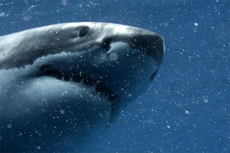 sharkhead